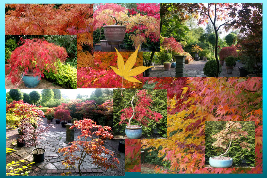 japanese maple collection